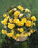 Yellow begonia with pendulous flowers