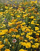 A sea of summer flowers