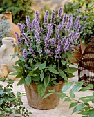 Blue calamint in flowerpot