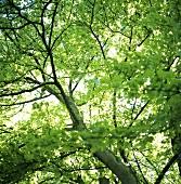 Upward view into tree top