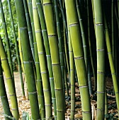 Bamboo stalks (Phyllostachys viridis)