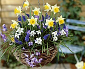 Narcissi, grape hyacinths and glory of the snow in hanging basket