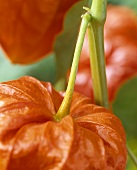Chinese lantern (Physalis alkekengi, close-up)