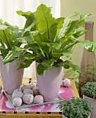 Bird's nest ferns (Asplenium australasicum) in pots