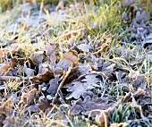 Frozen oak leaves on grass