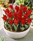 Dwarf red Kaufmannia tulips, variety 'Show Winner'