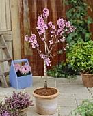 Small nectarine tree in pot on terrace