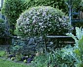 Lilac bush in garden
