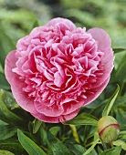 Peony flower, variety 'Rosea Plena'