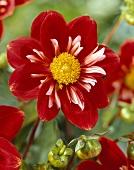 Red dahlia, variety 'Petit Bijou'