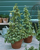 Ivy in pots with plant supports on terrace