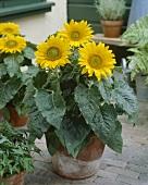 Dwarf sunflowers in pot (Helianthus annuus 'Pacino')