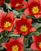 Tulips, variety 'Scarlet Baby'