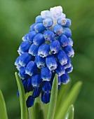 Grape hyacinth flower, variety 'Mount Hood'