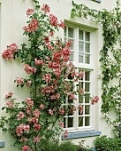 House front with climbing rose Rosa 'Meidiland'