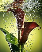 Red calla lily (Zantedeschia) submerged in water