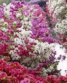 Azaleas (Azalea japonica)