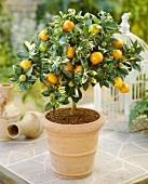 Small mandarin orange tree (Calamondine)