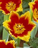 'Davenport' tulips