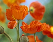 Orange poppies (Papaver 'Oranje')