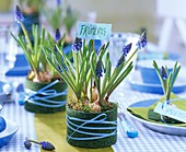 Grape hyacinths (Muscari) in tins wrapped in artificial grass