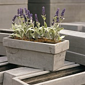 A sage growing in a flower container