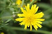 Common picris (Picris hieracioides)