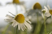Camomile flowers (close-up)