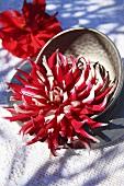 A cactus dahlia in a metal dish