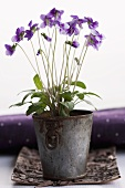 Sweet violets in a pot (viola odorata)