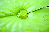 Waterdrops on a lotus leaf