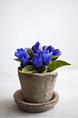 Gentiana in a flower pot