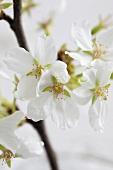 A cherry blossom sprig (cropped)