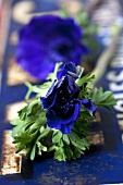 A blue anemone