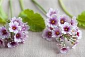 Lilac primroses