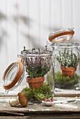Calluna in preserving jars