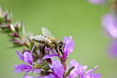 Purple loosestrife with bee