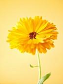 Eine Ringelblume (Close Up)