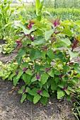 Baumspinatpflanzen im Gemüsebeet