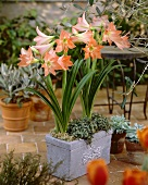 Apricot coloured amaryllis 'Movie Star'