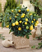 Kumquat plant in flowerpot (Citrus x Fortunella Lemon)