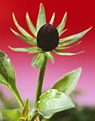 Coneflower (Rudbeckia occidentalis 'Green Wizard')