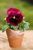 Pansy in a flowerpot