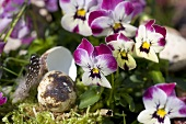 Horned violets and quail's egg (decoration)