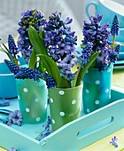 Hyacinths and grape hyacinths in spotted beakers