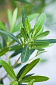Olive branches (close-up)