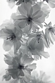 Cherry blossom (black and white photo)