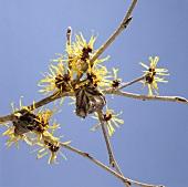 Flowering witch hazel