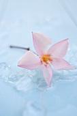 Oleanderblüte auf Eis