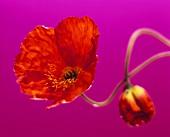 Poppy against purple background